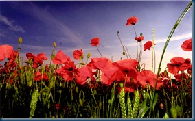 PLPoppies3a