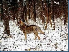 Belorussian wolf within the Exclusion Zone