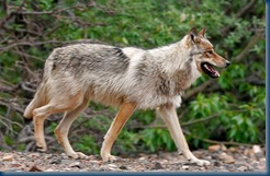 Russian Wolves - Chernobyl and Pripyat