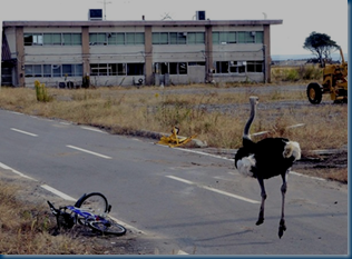 (Image Credit:Eiji Kaji/Ymiuri) A feral ostrich,believed to run away near a ostrich farm, is seen at the Tomioka fishing port , no-entry zone near the crippled Fukushima No. 1 nuclear power plant.