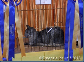 Best In Show_Black Silver Shaded_Oriental Longhair