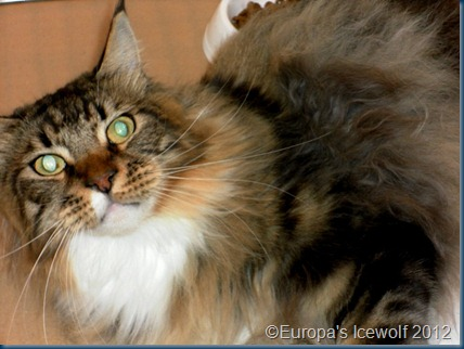 Tortie Tabby and White Maine Coone