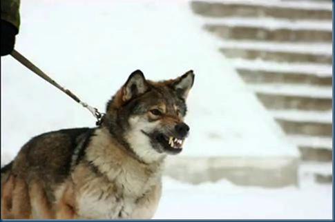 Working Russian Wolf Dog