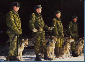 Russian Wolf Dogs in Training