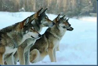 Russian Wolf Dogs_Sit-Stay Training
