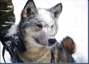 Volkosoby - Russian Wolf Dog