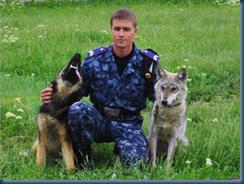 """Male wolf """"Akella"""" and Female German Shepherd Dog mate"""
