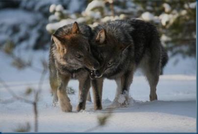 Grey Caspian Sea Wolves