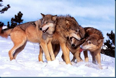 Red-Coated Asian/Kazakhstan Steppe Wolves