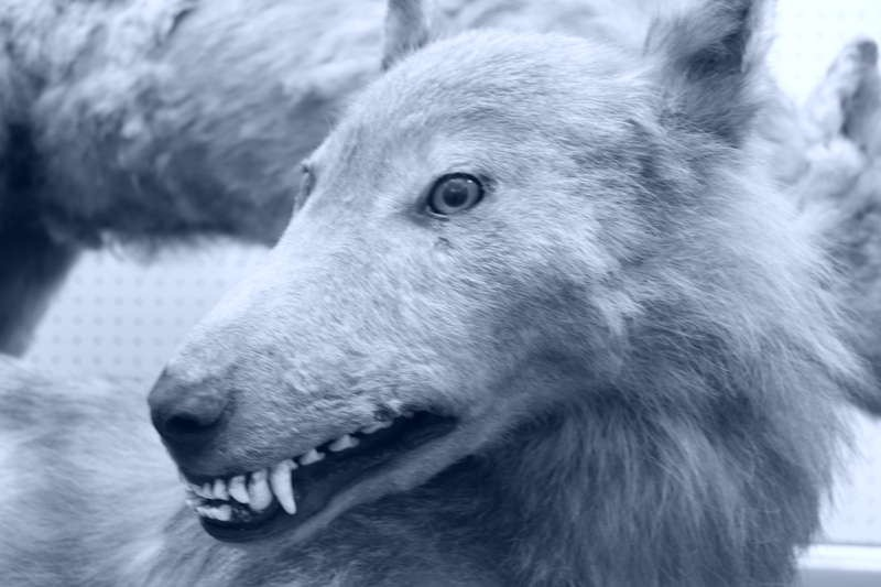 Japanese Wolves Guardian Dog Of The Mountains Icewolves Of Europa