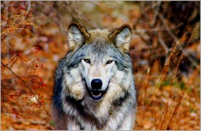 """""""The Word Of Your Head Wolf Is Law! ~ Obey!!"""" (4/4)"""