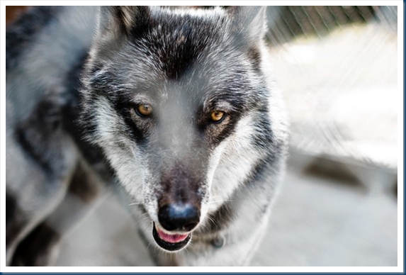 Angola's Wolf Dogs