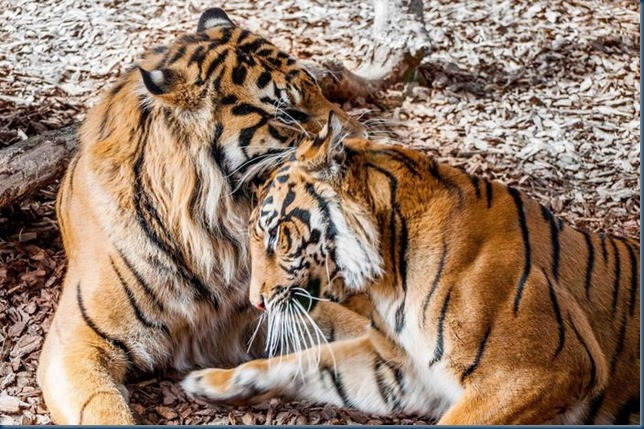 jae-and-jae-and-melati-sumatran-tigers-mark-chamberlain-13984