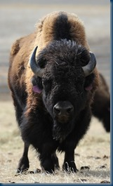 Bison_Credit bloximages