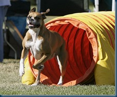 Boxer_agility_tunnel_Photo by Donn Dobkin-Just a Moment Photography_Wiki  GNU Free Documentation License