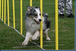 Weaving Collie_Photo credit_animalwatchers.com