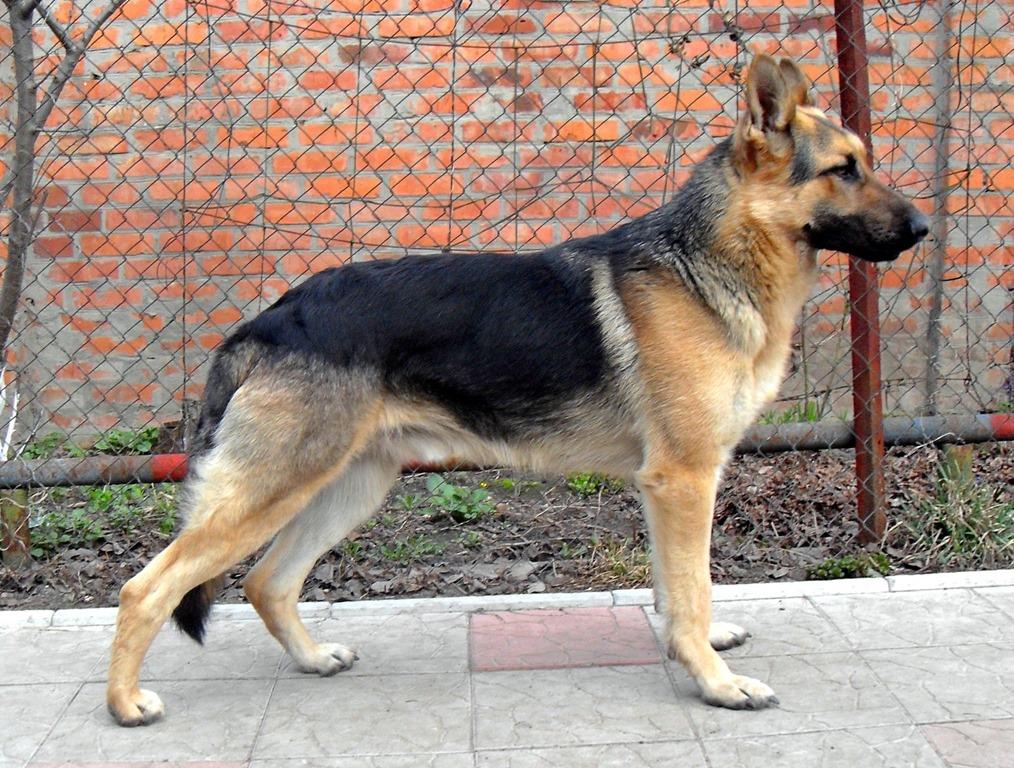 German Shepherd Protection Dogs For Sale Uk