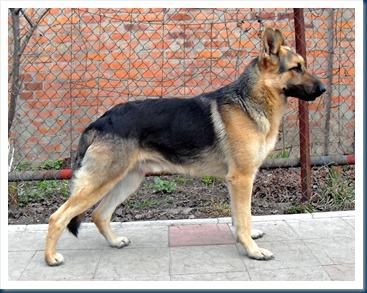 EE Shepherd alldogbreed tk