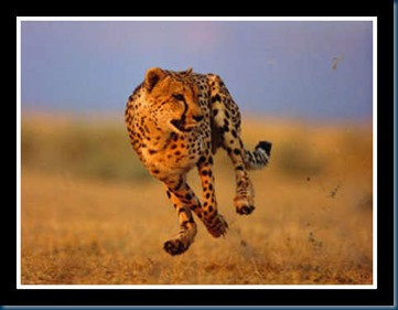 Cheetah_google2
